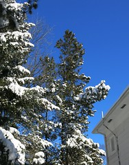 after the blizzard ~ HTMT (karma (Karen)) Tags: trees snow home maryland baltimore pines blizzard 4winter htmt cmwdblue
