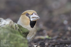 Hawfinch (Thomas Winstone) Tags: winter bird nature birds canon photo aves finch ave avian hawfinch canon1dx canon300mmf28mkii