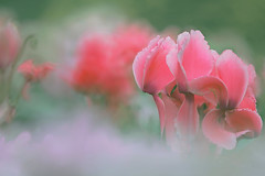 Cyclamen  (lfeng1014) Tags: toronto flower macro dof depthoffield greenhouse dreamy cyclamen macrophotography lifeng  pinkcyclamen centennialparkconservatory   canon5dmarkiii