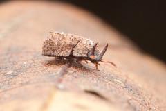 Tenebrionidae. Byrsax sp.  Bolitophagini. (David Ball.) Tags: singapore tenebrionidae canon270ex bolitophagini byrsax