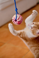 Gato Jinks  (13) (adopcionesfelinasvalencia) Tags: gato jinks