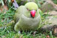 gaia zoo Kerkrade (Jeroen Stroes) Tags: bird zoo vogel kerkrade dierentuin papagaai tierkaten