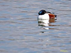 Cuchara comn              (Anas clypeata) (25) (eb3alfmiguel) Tags: aves cuchara comn acuaticas europeo antidas