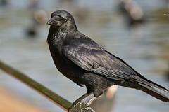 Carrion crow (corvus corone) (pierre_et_nelly) Tags: bokeh corneille crow cornella corvus carrioncrow corvuscorone cornacchia gralhapreta rabenkrhe corneillenoire aaskrhe cornejanegra cornacchianera cornellanegra