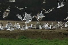 Goland pontique - Larus cachinnans - PKUX (Yann Brilland) Tags: gulls oiseau mouette goland laruscachinnans golandpontique oiseaumarin avifaune larids
