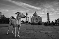 Taj Mahal (Ravikanth K) Tags: world morning blackandwhite dog white love monument blackwhite view symbol outdoor tajmahal agra valentine unescoworldheritagesite seven doggy marble shah jahan uttarpradesh 7wonders mumtaj 500px