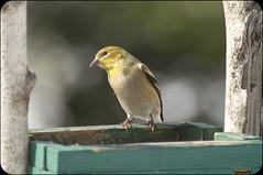 Chardonneret (rivai56) Tags: oiseau chardonneret