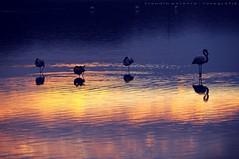 Isole di luce (swaily ◘ Claudio Parente) Tags: nikon flamingos toscana wwf orbetello maremma oasiwwf nikond300 swaily maremmans