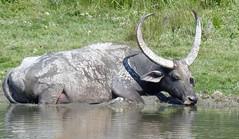 Water Buffalo (upperwinskill) Tags: bubalusbubalis