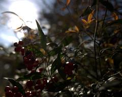 IMG_6754.CR2--Nandina Domestica (jalexartis) Tags: spring shrub shrubbery nandina newgrowth nandinadomestica tenderleaves