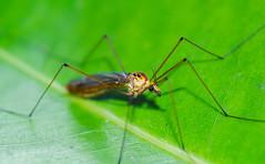 Green Is The Colour (eneron9) Tags: colour macro green nature field animal closeup insect fly eyes nikon focus close outdoor earth wildlife leg environment depth biodiversity arthropod