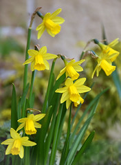 Narcissus (littlestschnauzer) Tags: uk flowers yellow garden march early petals spring pretty yorkshire bulbs flowering dainty narcissus 2016