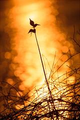 Milkweed Sunset