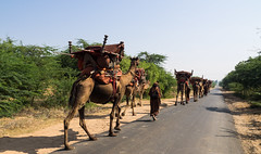 On our way a camels Caravan ... (Rita Willaert) Tags: india camel caravan tribe gujarat in kutch bhuj jath meghwar camelcaravan fakirani hodka neusjuweel meghwartribe fakiranijath