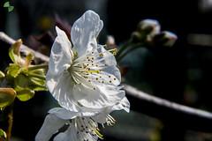 ciliegio (mirkopizzaballa) Tags: macro primavera nikon colori bianco ciliegio macroworld nikkor50mm fiorellini nikond7200
