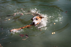 Anton (Oliver Kuehne) Tags: dog chien pet swimming germany bayern bavaria schwimmen explore hund jackrussell anton haustier springtime frhling 2016