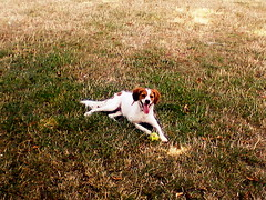 it's too hot....i need to rest (Bambola 2012) Tags: park summer parco hot verde green grass cane estate canine erba tired tennisball pas animale gundog brittanyspaniel caldo trava stanco ljeto zeleno stanchezza umor ljubimac vruina canedacaccia lovaki