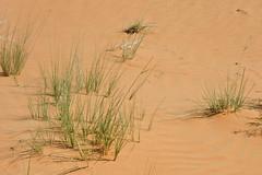 Desert Sedge 3 (tinlight7) Tags: sand desert uae plantae ummalquwain sedge liliopsida magnoliophyta cyperus cyperaceae bassata poales tracheophyta taxonomy:class=liliopsida taxonomy:kingdom=plantae taxonomy:family=cyperaceae taxonomy:phylum=magnoliophyta taxonomy:genus=cyperus taxonomy:order=poales cyperusconglomeratus taxonomy:superphylum=tracheophyta desertsedge taxonomy:species=conglomeratus taxonomy:binomial=cyperusconglomeratus