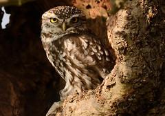 Little Owl (Severnrover) Tags: tree bird hole little owl