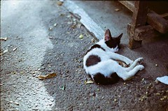 Cozy (akurasai) Tags: camera wild cats film animal animals cat vintage cozy ground ishootfilm land yashica electro35 yashinon analogcamera filmisnotdead believeinfilm