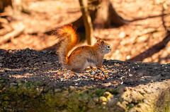red squirrel's bounty (Shandi-lee) Tags: cute bird love nature animal easter outside spring squirrel warm babies natural treats naturallight seeds whitby snacks creature conservationarea naturallighting warmtones ontariocanada thicksonswoods