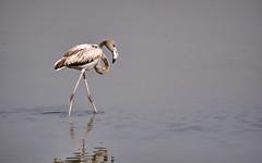 One (kleptografy) Tags: wild lake bird nature water birds dubai wildlife uae wilderness sanctuary ae