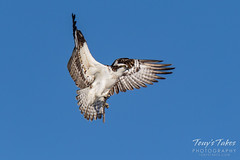 Osprey returns from Home Depot sequence - 8 of 27