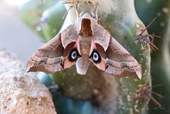 Moth and Cactus (incidencematrix) Tags: cactus moth cereus hawkmoth