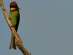 Chestnut-headed Bee-eater, Merops leschenaulti (asterisktom) Tags: kohrong cambodia 2016 trip20152016cambodiataiwan february chestnutheadedbeeeater meropsleschenaulti beeeater bird vogel ave 鸟 niao птица 鳥