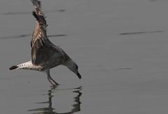 Attimo (lincerosso) Tags: bellezza laruscachinnans armonia attimo cattura ammaraggio lagunadivenezia predatori gabbianorealegiovane manovraaerea