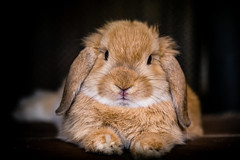 Bunny (Drachenfanger) Tags: pet rabbit bunny animal dwarflop zwergwidder kunstwelt photosophie drachenfanger