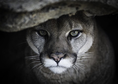 Thousand-Yard Stare (Paul E.M.) Tags: mountain lion puma predator cougar