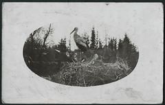 Archiv E166 Storchenpaar zur Brutzeit, Mai 1916 (Hans-Michael Tappen) Tags: nest 1910s stork 1916 storch storchennest storchenpaar brutzeit 1910er archivhansmichaeltappen storchenbrut