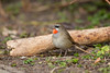 Siberian Rubythroat 5891 (Chris Galvin Photography) Tags: netherlands march places ruby calliope 2016 siberianrubythroat beukenlaan hoogwoud ©chrisgalvin2016