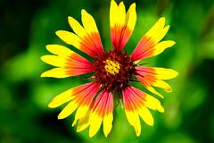 Coreopsis basalis Wild flower (NBTXN) Tags: flower macro texas blossom yellowflower wildflower texashillcountry flowerblossom coreopsisbasalis