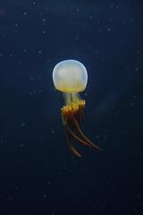 Alien floating through space (Erik0067) Tags: jellyfish bokeh space alien floating kwal