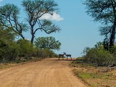 160313_Kruger_0244.jpg (JustinBennewith) Tags: southafrica mpumalanga krugerpark