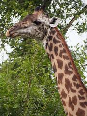 Giraffe (little_duckie) Tags: africa elephant zebra giraffe hippopotamus hyena zambia bigfive southluangwa southluangwanationalpark