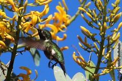 Beija-flor (5) (valdircodinhoto) Tags: parque brasil fauna go flor pssaro dos jorge ave cerrado alto nacional beijaflor so chapada veadeiros paraso gois voo colibri centrooeste