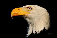 My Bald Eagle N 3 (pure photography!) Tags: greifvogel weiskopfseeadler