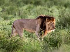 The king in a green Kalahari (jaffles) Tags: park nature southafrica wildlife natur lion olympus safari predator kalahari ktp südafrika löwe transfrontier raubkatze kgalagadi blackmane