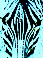 [ngorongoro] the mask (Andrei'f) Tags: africa tanzania mask reserve safari ngorongoro crater zebra ngorongorocraterreserve mygearandme