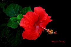 Hibisco/Hibiscus (Altagracia Aristy) Tags: hibisco hibiscus cayena laromana quisqueya repblicadominicana dominicanrepublic caribe caribbean carabe antillas antilles trpico trloic altagraciaaristy fujifilmfinepixhs10 fujifinepixhs10 fujihs10 blackbackgroundfondonegro sfondonero