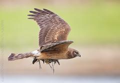 Snipe for Lunch (DennisDavenportPhotography) Tags: flight prey ridgefield snipe northernharrier birdperfect