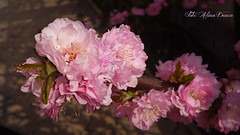 The colour pink makes everything look pretty! (Aly D.) Tags: pink tree spring roz prunus primavara copac triloba