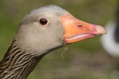 HNS_1108 Grauwe Gans : Oie cendree : Anser anser : Graugans : Greylag Goose