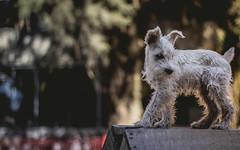 Schnauzer goals (photosimple) Tags: park family dog pet cute mexico free mydog bukeh snchauzer