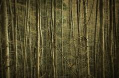 Pines (Roksoff) Tags: trees winter mist snow cold ice hail pine scotland log wind bennevis fortwilliam lochaber scottishhighlands glennevis scotspine leefilters rivernevis nikond810 1635mmf4 steallgorge