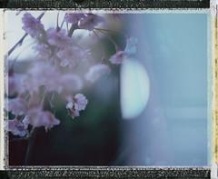 Interdimensional cherry blossoms (Joann Edmonds) Tags: plants film nature polaroid botanical spring doubleexposure multipleexposure instant sakura fujifilm cherryblossoms dreamy dreamscape expiredfilm packfilm polaroidweek fp100c messyborders roidweek peelapartfilm polaroidland450
