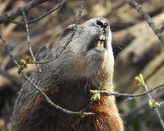 Woodchuck (John Rothwell) Tags: nature animal yard backyard michigan critter wildlife grand rapids woodchuck gopher